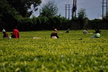 Lokale Farmer pflücken Tee